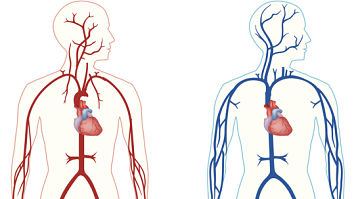 Two drawings of the body's circulatory system